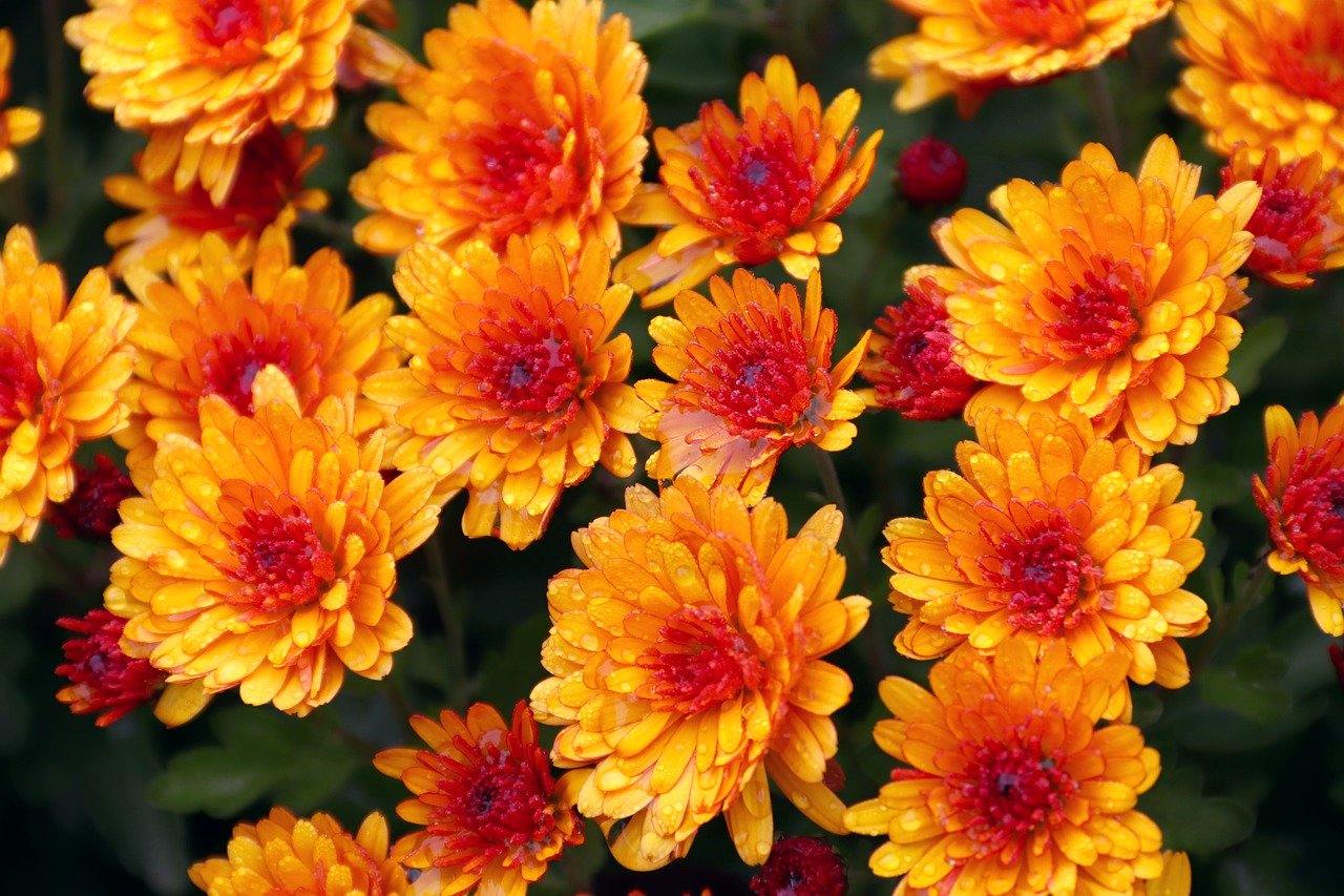 chrysanthemums 4624472 1280 - Cimetières et Columbarium